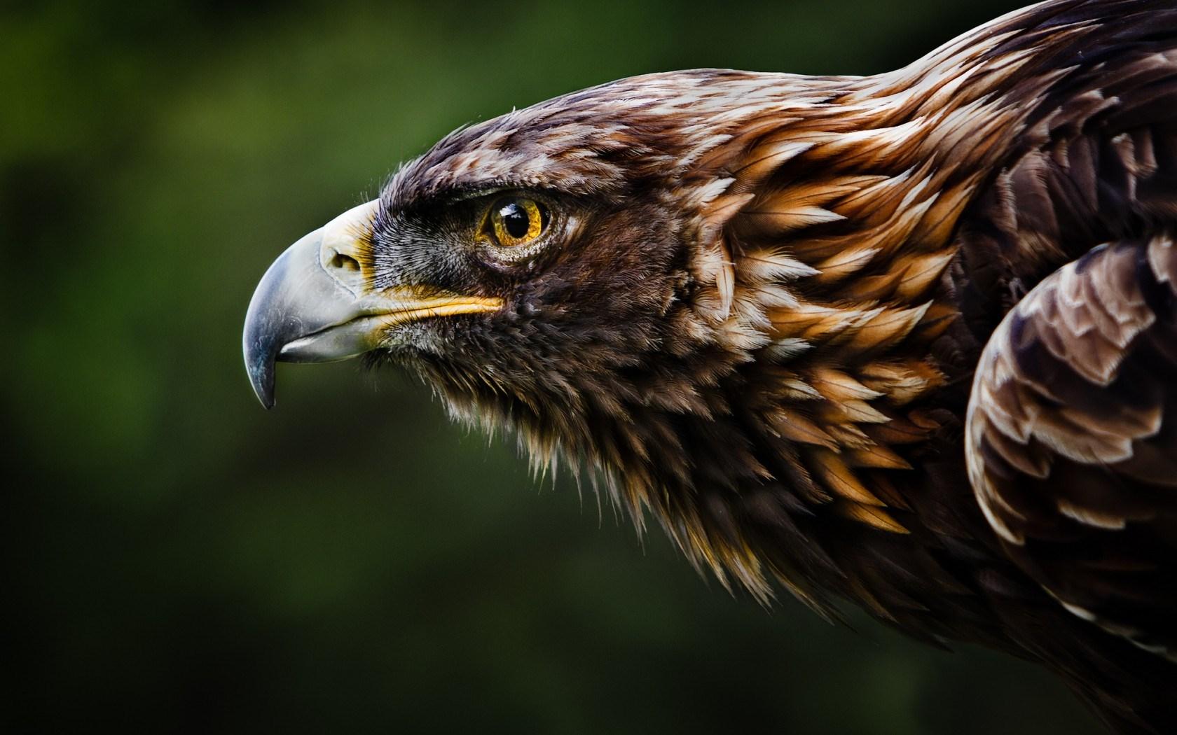 wallpaper eagle hd