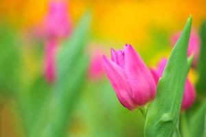 wallpaper flower tulip summer