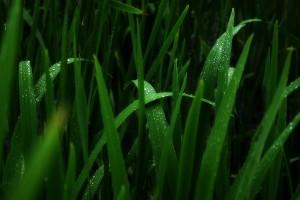 wallpaper grass dew drops