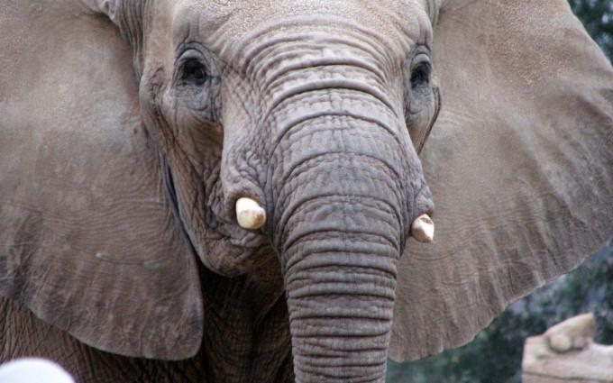 wallpaper hd elephant