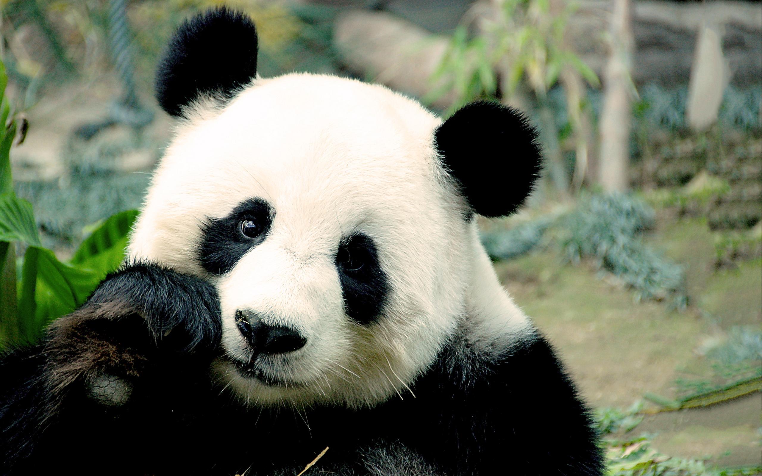 wallpaper hd panda