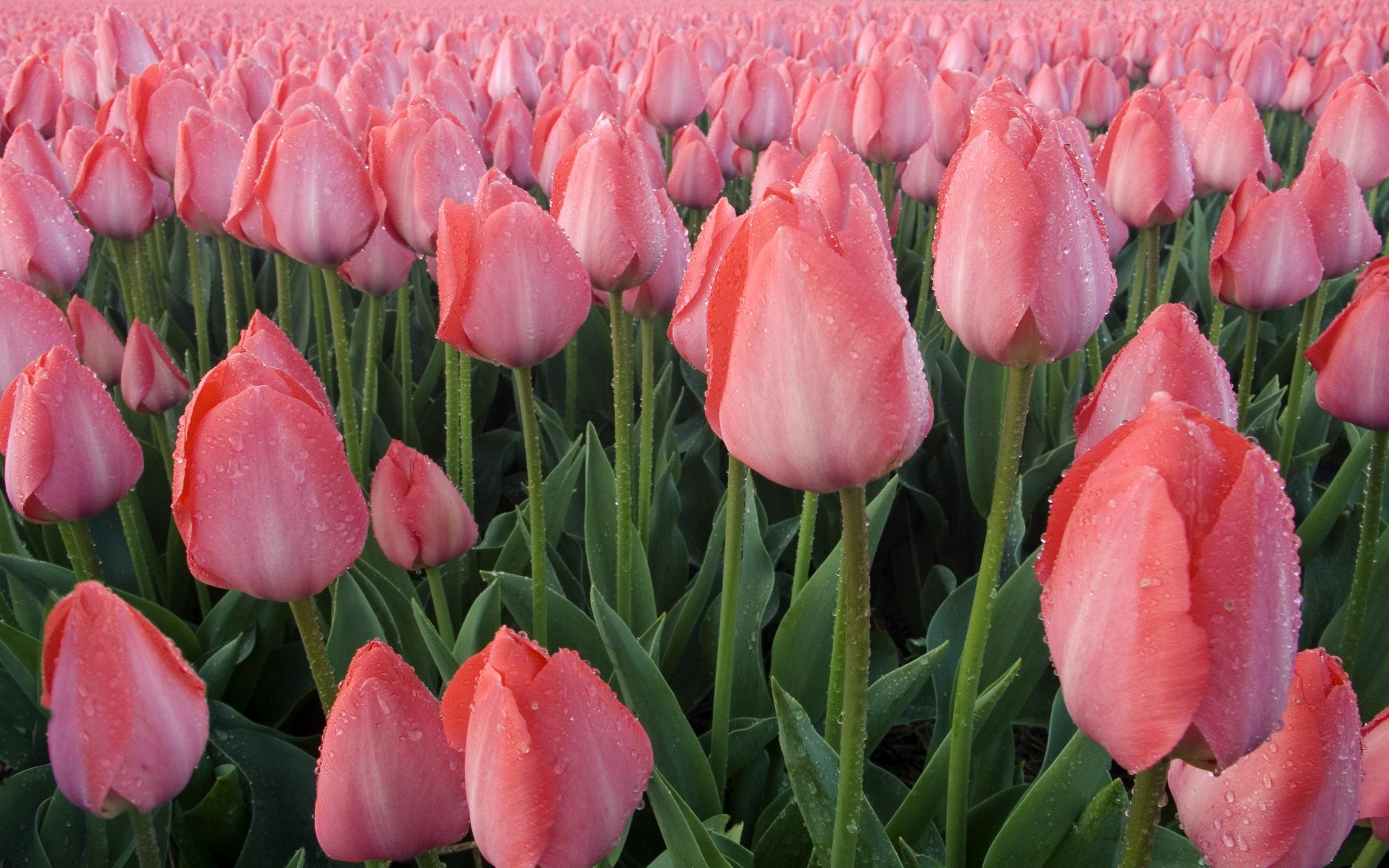 wallpaper of tulip flower wet