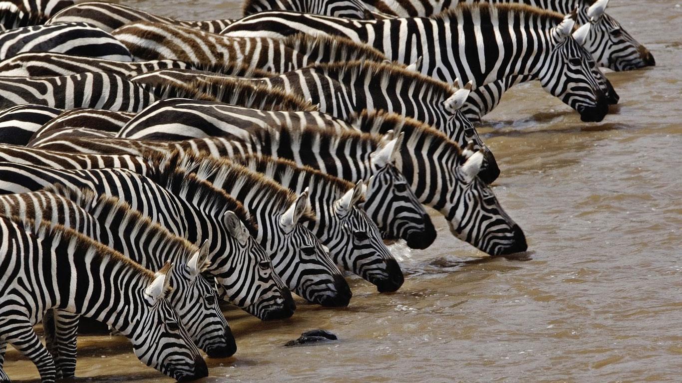 wallpaper of zebra