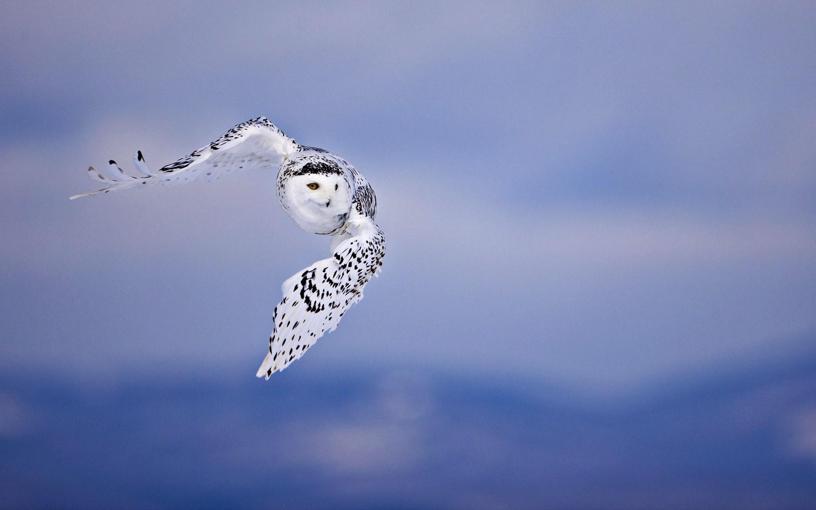 wallpaper owl hd