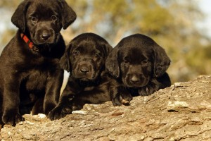 wallpaper puppies free download