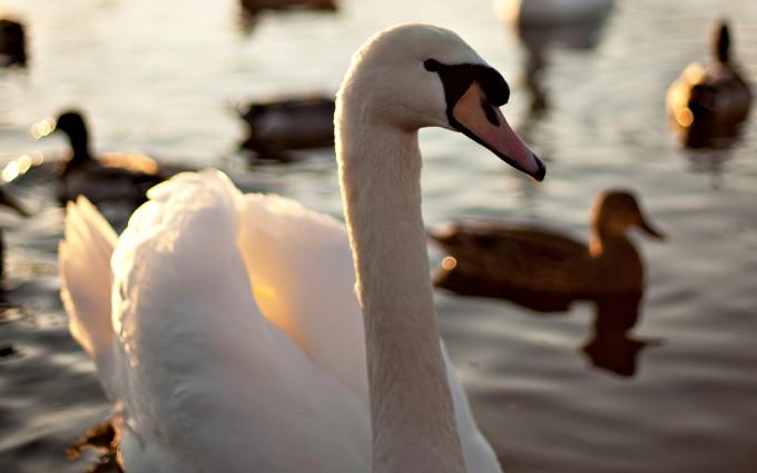 wallpaper swans