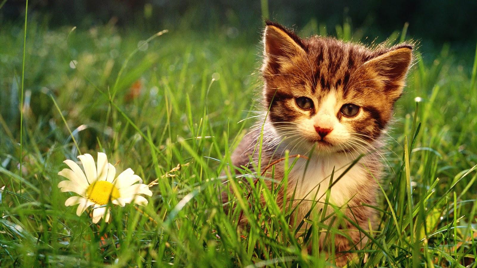 Wallpapers Cats Kittens Hd Desktop Wallpapers 4k Hd