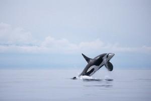 whale wallpaper free