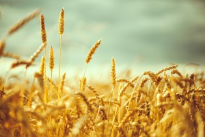 wheat field picture