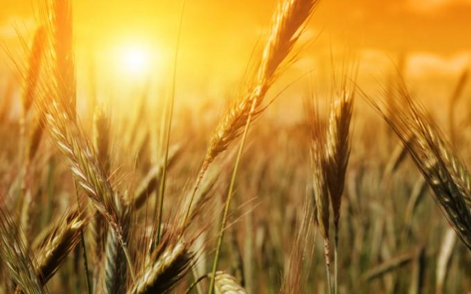 wheat wallpaper backgrounds