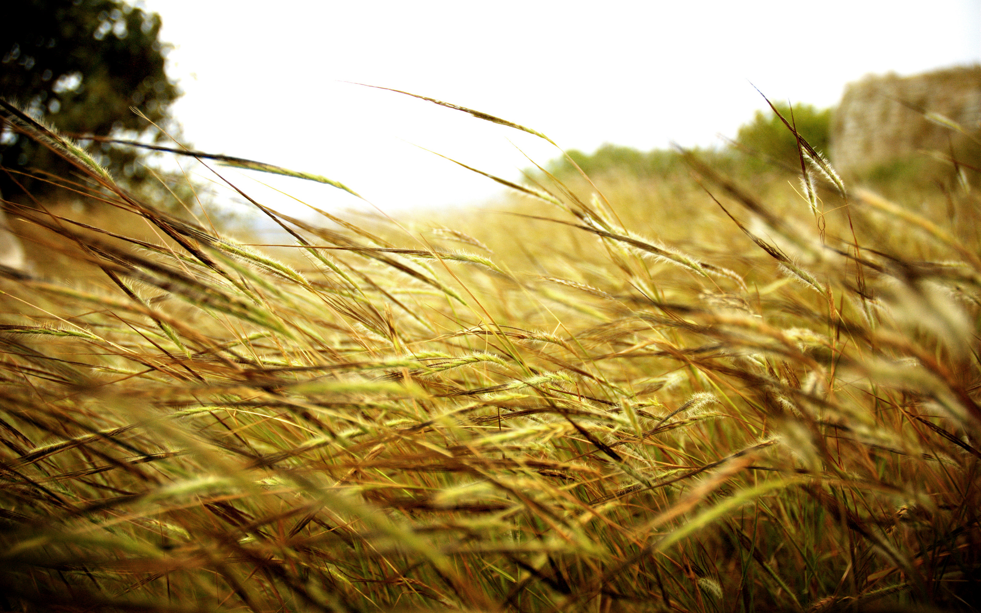 wheat wallpapers