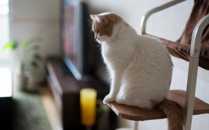 white cat hd wallpaper