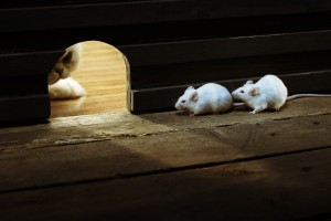 white cat mice