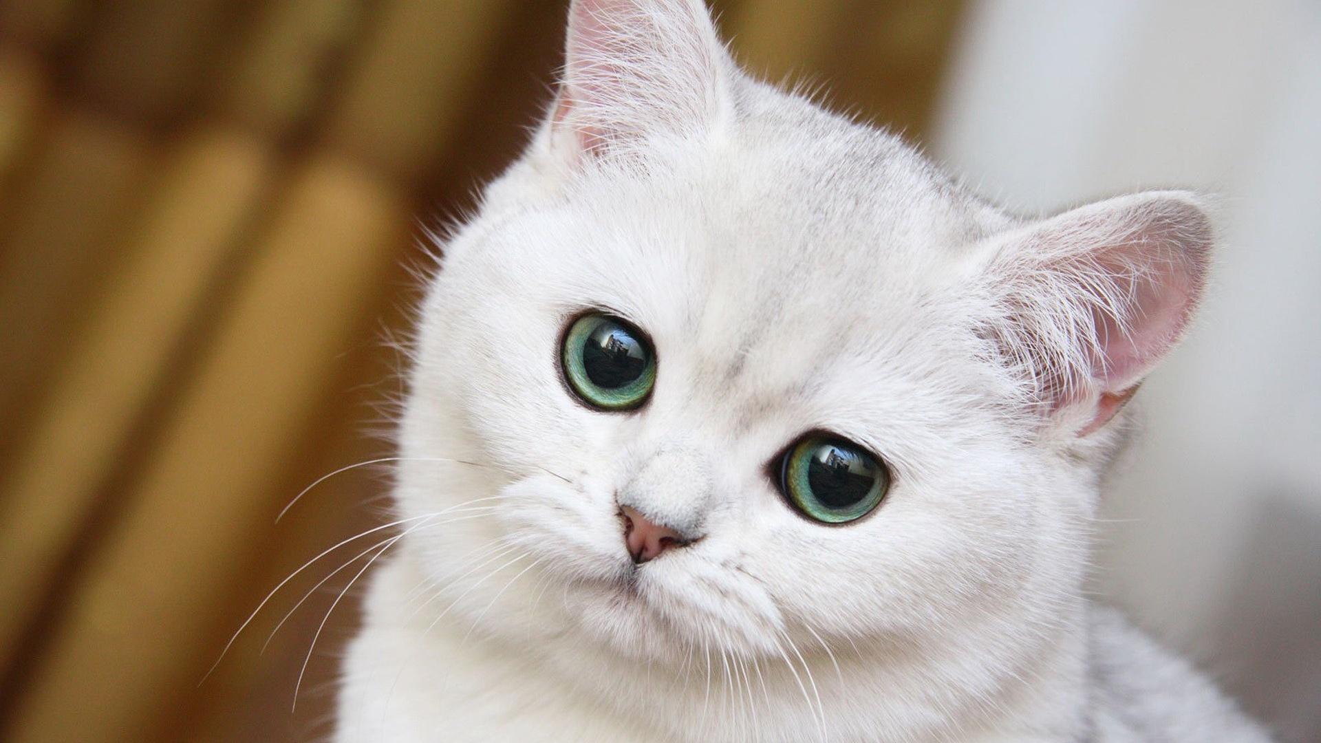 Weiße Katze Wallpaper