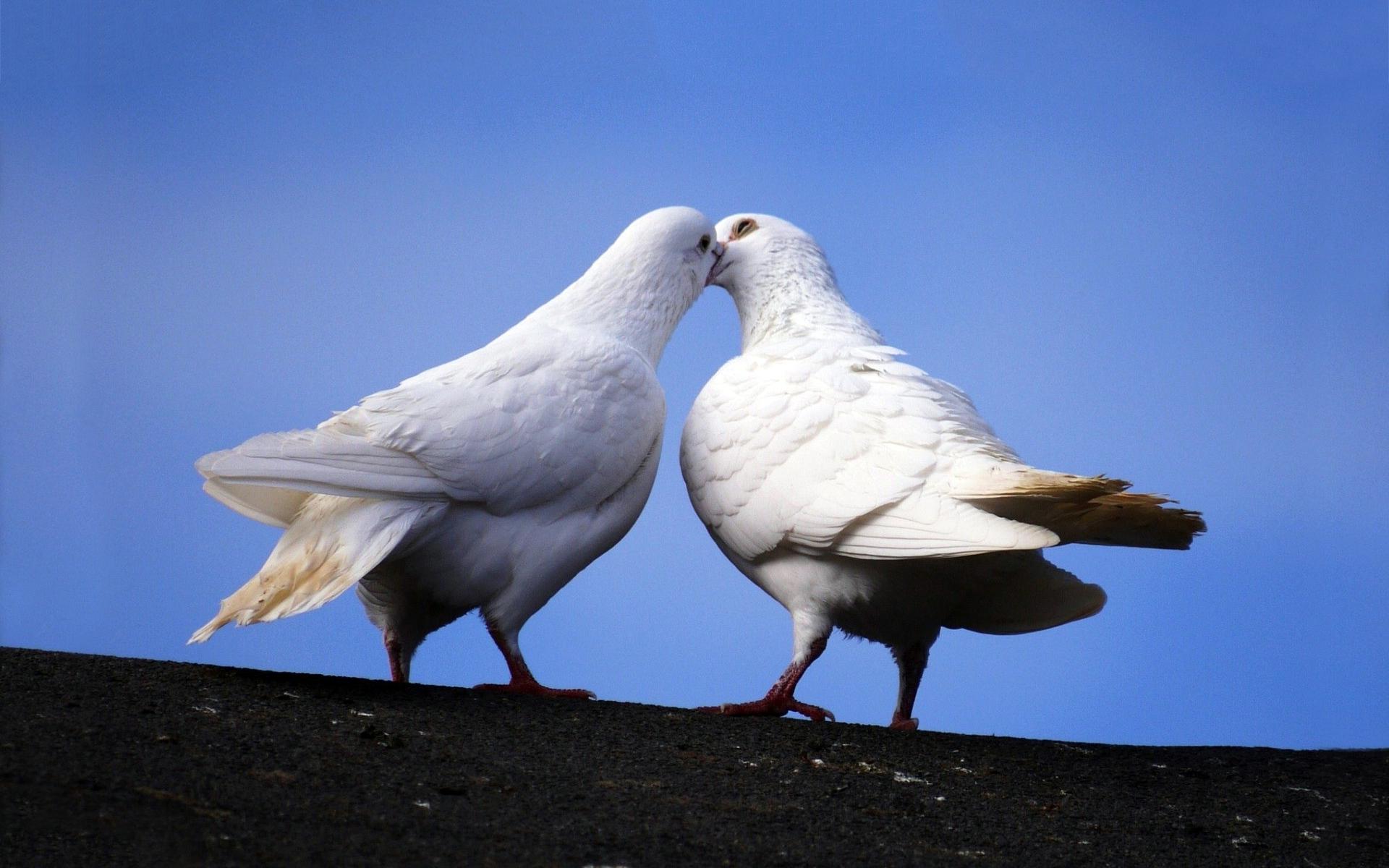 white dove images