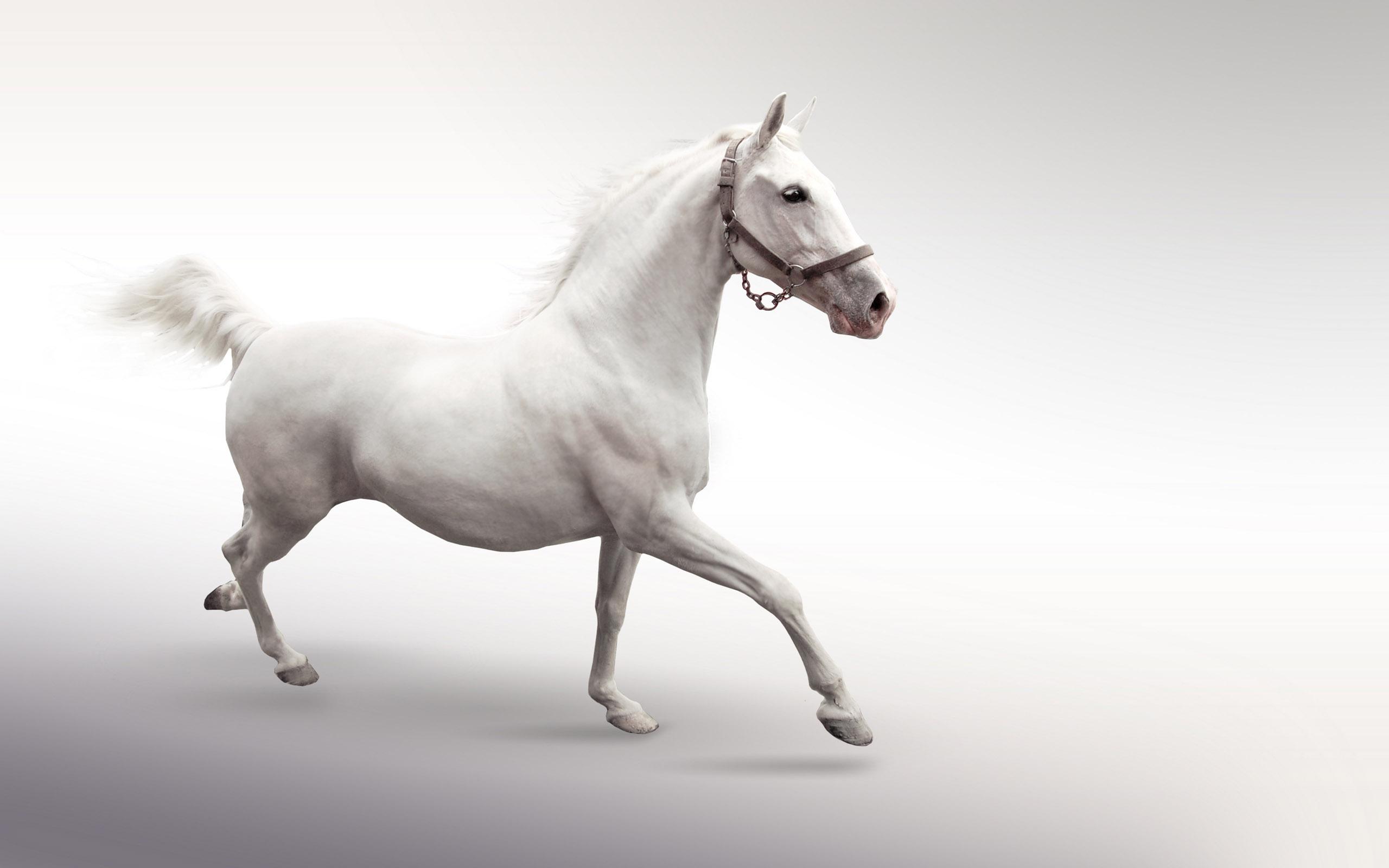 white horse desktop background
