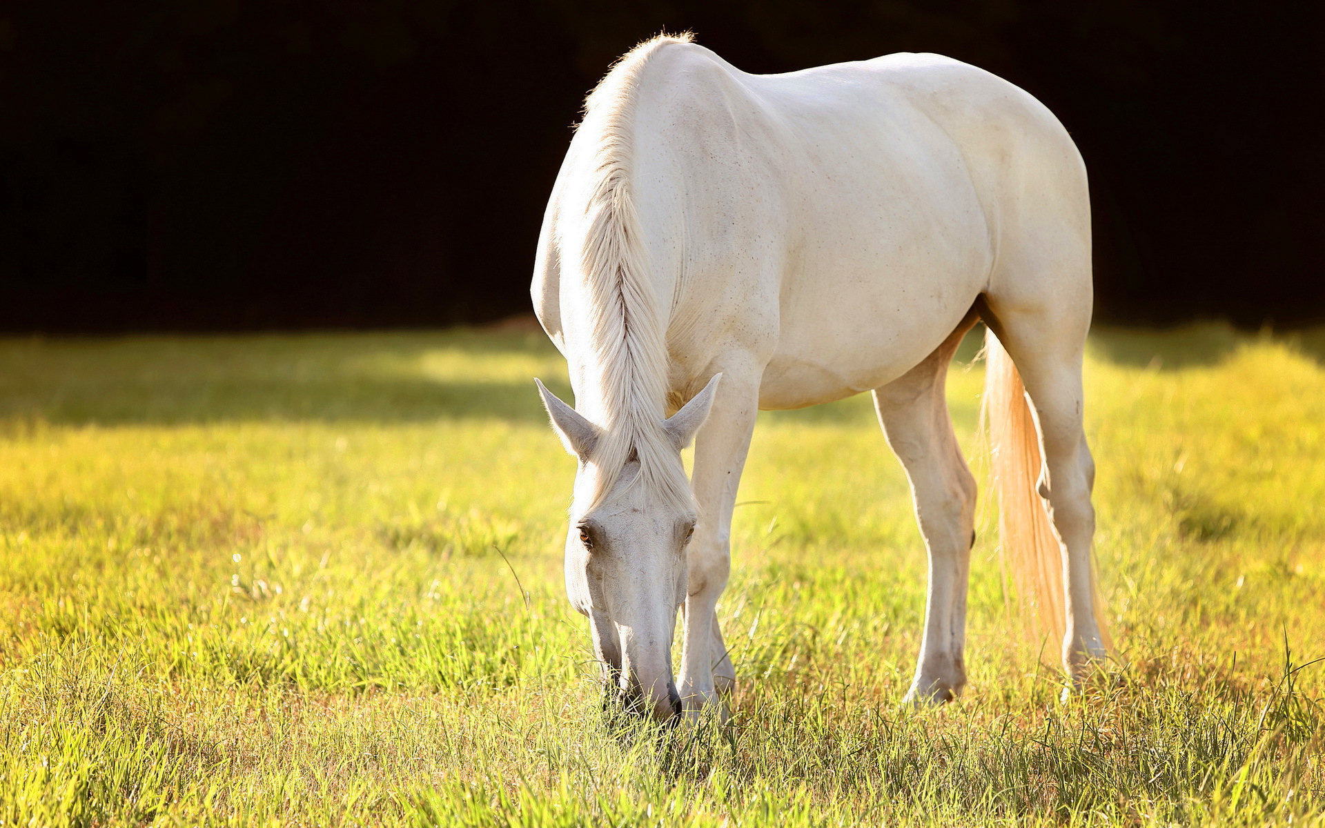 White Horse Hd Hd Desktop Wallpapers 4k Hd