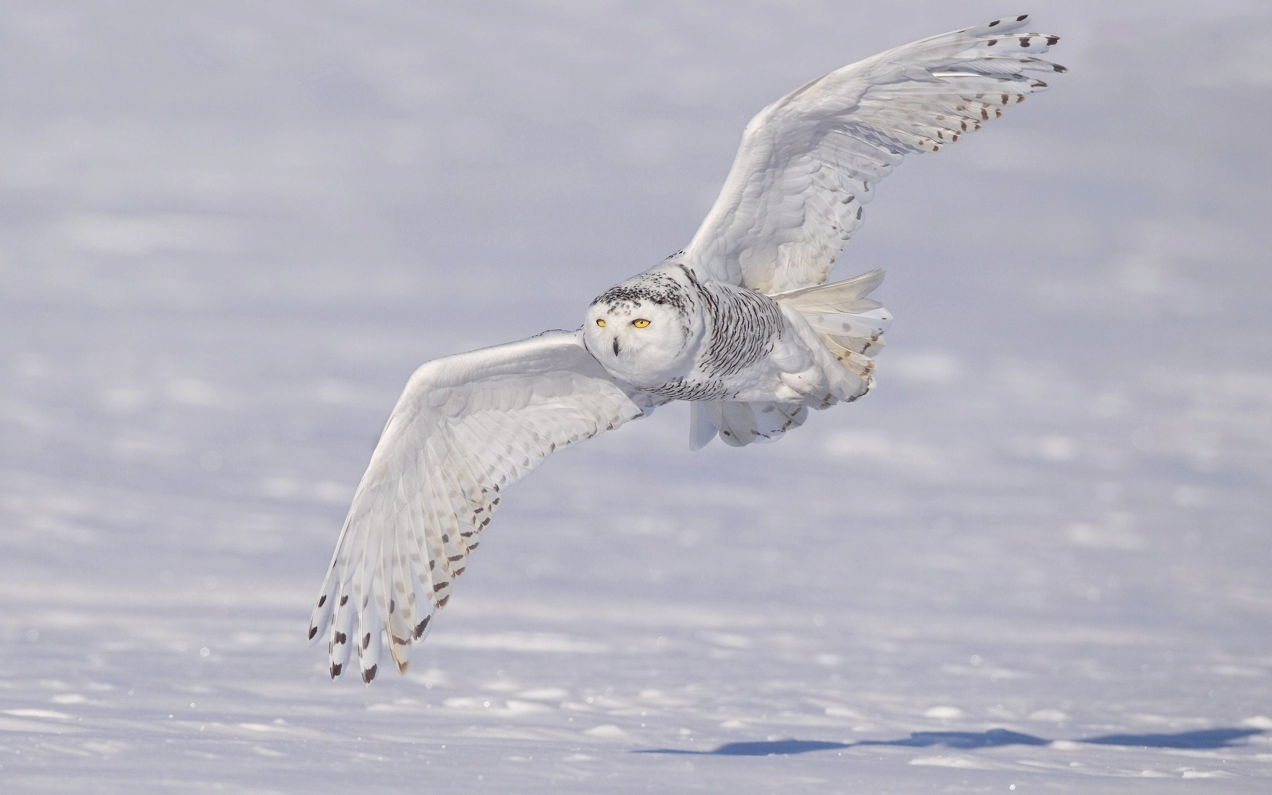 white owl winter