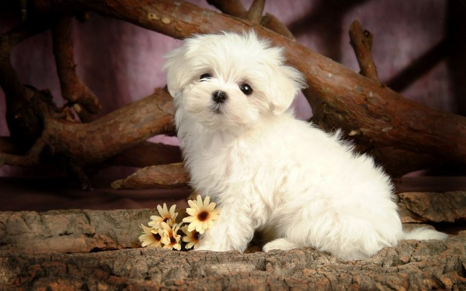 white puppies wallpapers