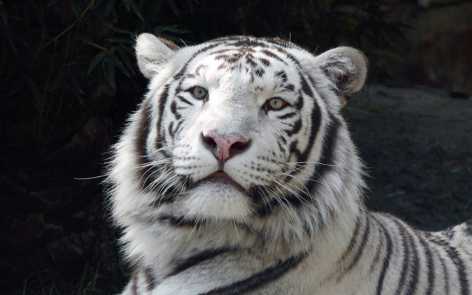 white tiger backgrounds