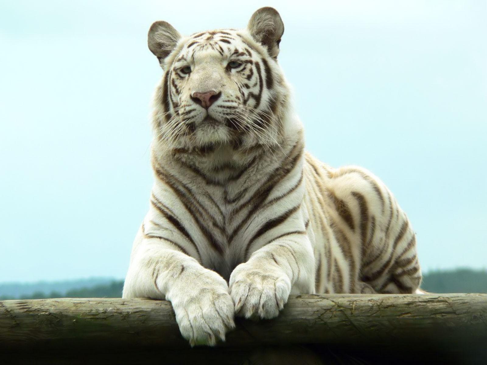 white tiger chilling