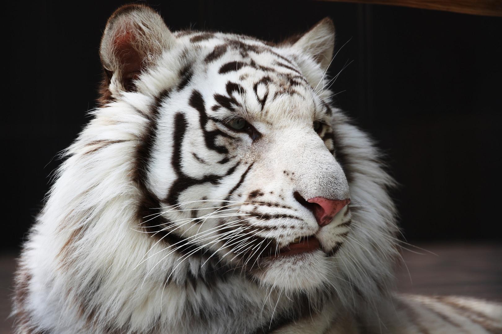 White Tiger Wallpaper Hd Desktop Wallpapers 4k Hd