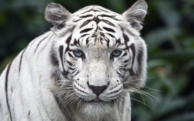 white tiger widescreen
