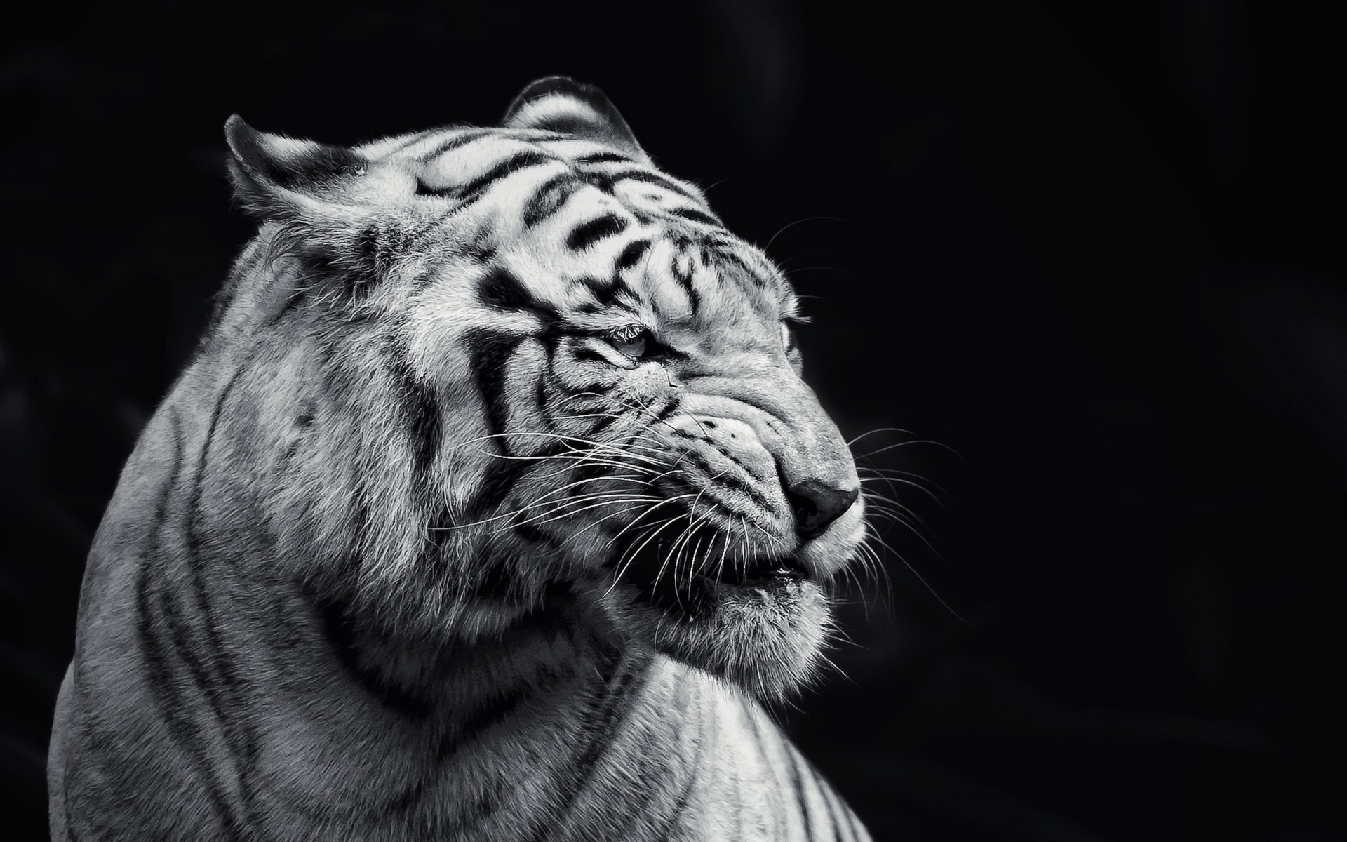 white tigers wallpaper - HD Desktop Wallpapers | 4k HD