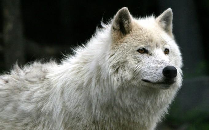 white wolf wallpaper A9