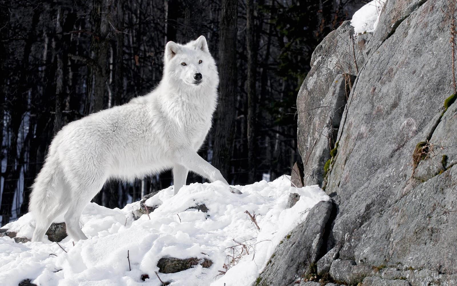 white wolf wallpaper