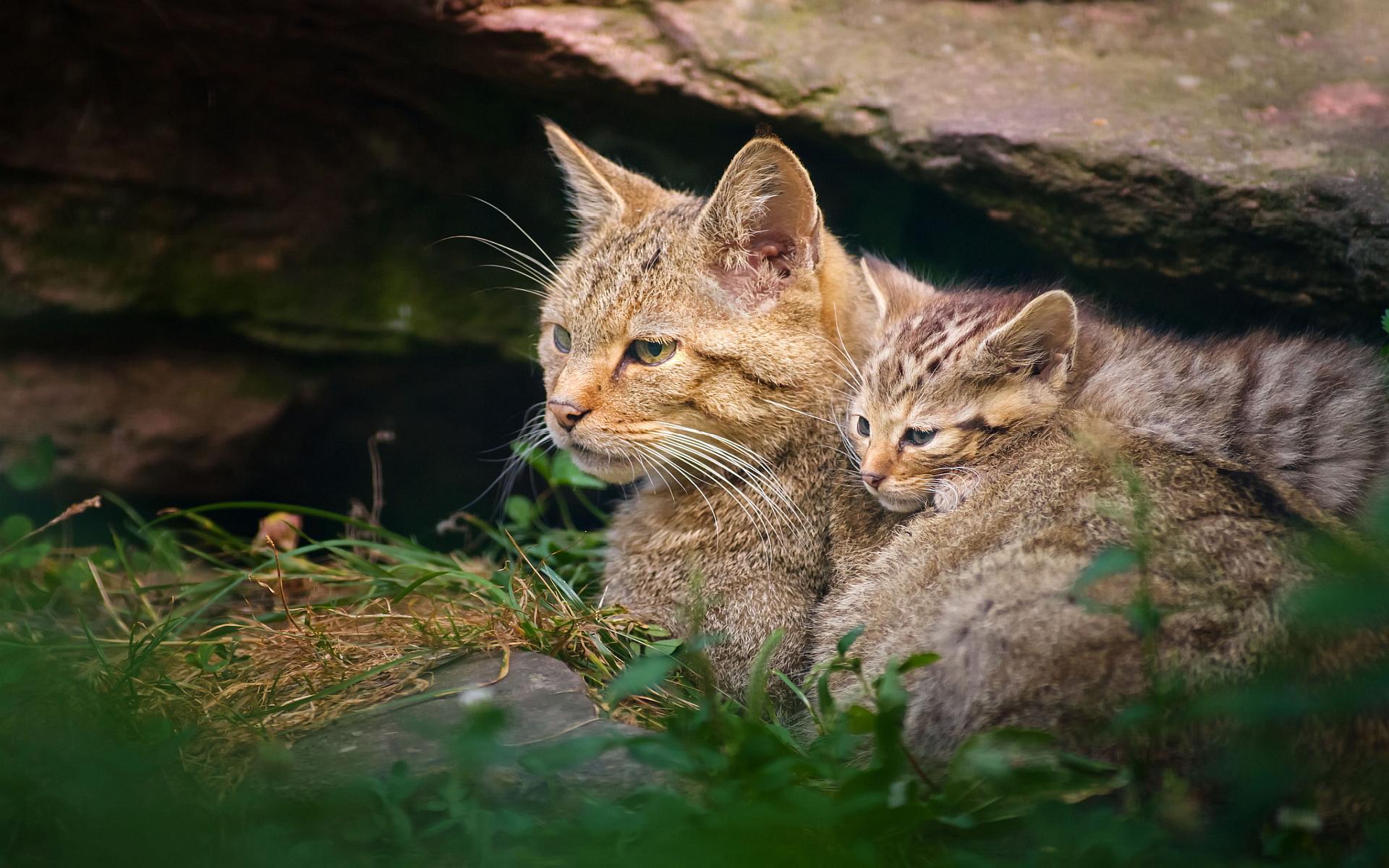 Wild Cats Hd Desktop Wallpapers 4k Hd