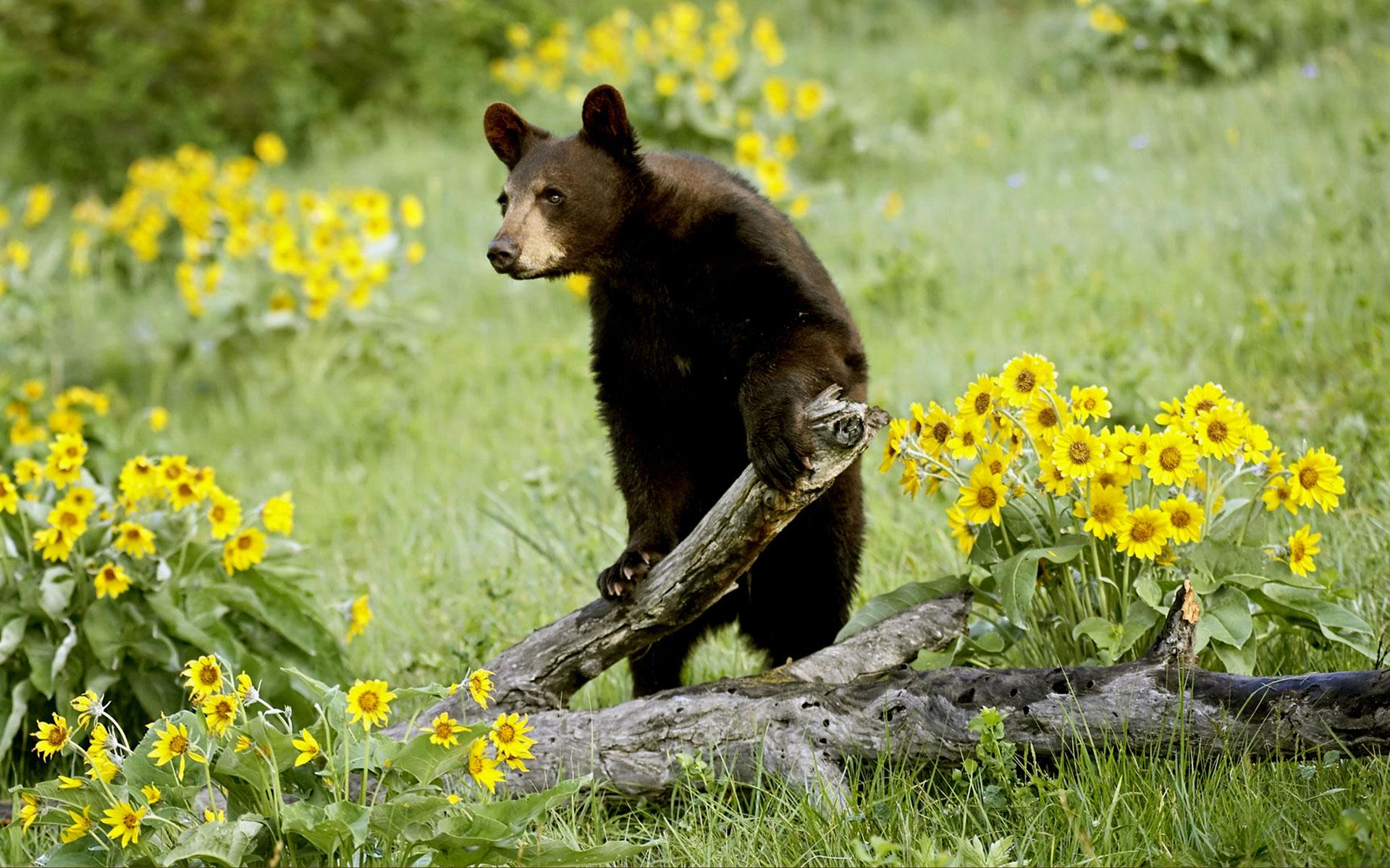 Images Of Bear Wallpaper 4k Calto