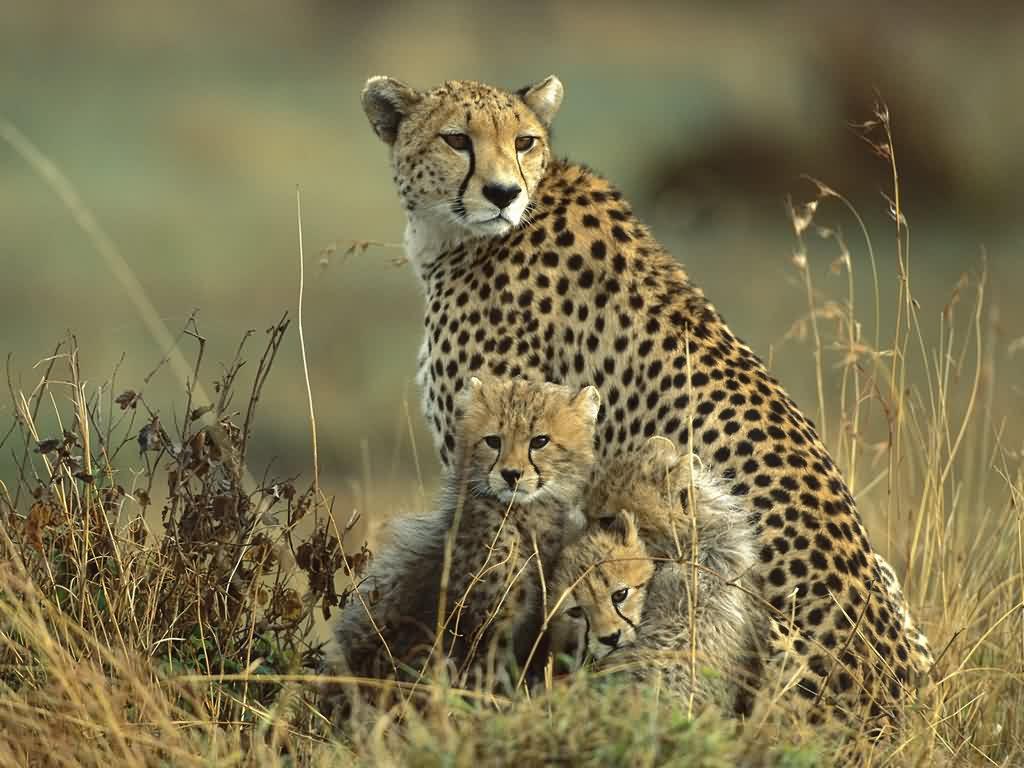 wildlife wallpaper cheetah