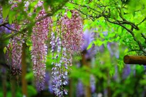 wisteria wallpaper hd