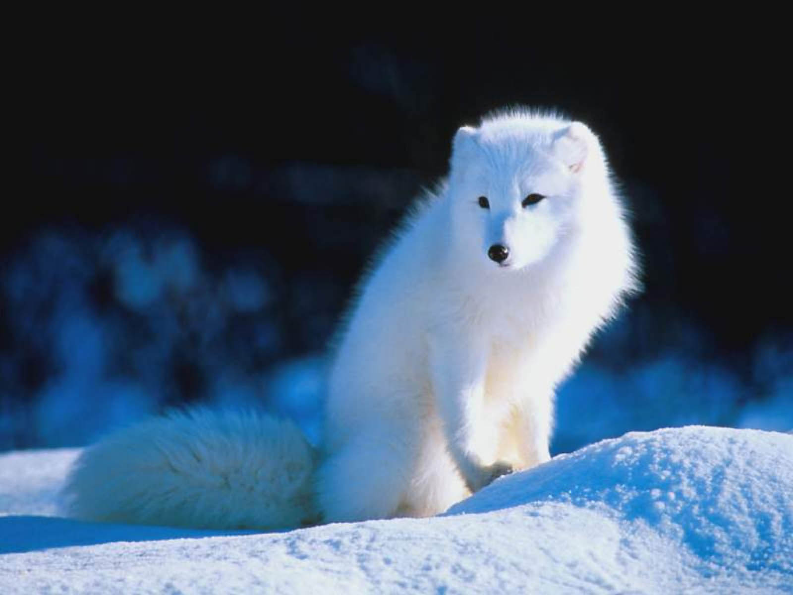 wite fox