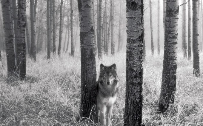 wolf pictures A19