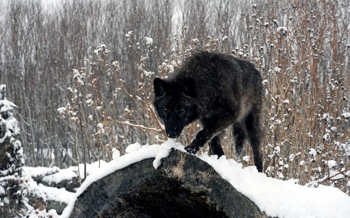 wolf wallpaper A16