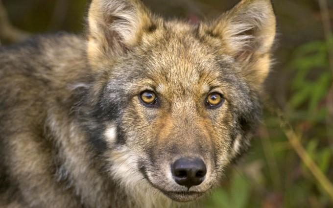 wolf wallpaper A5