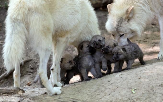 wolf wallpaper puppies