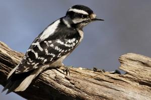 woodpecker wallpaper download