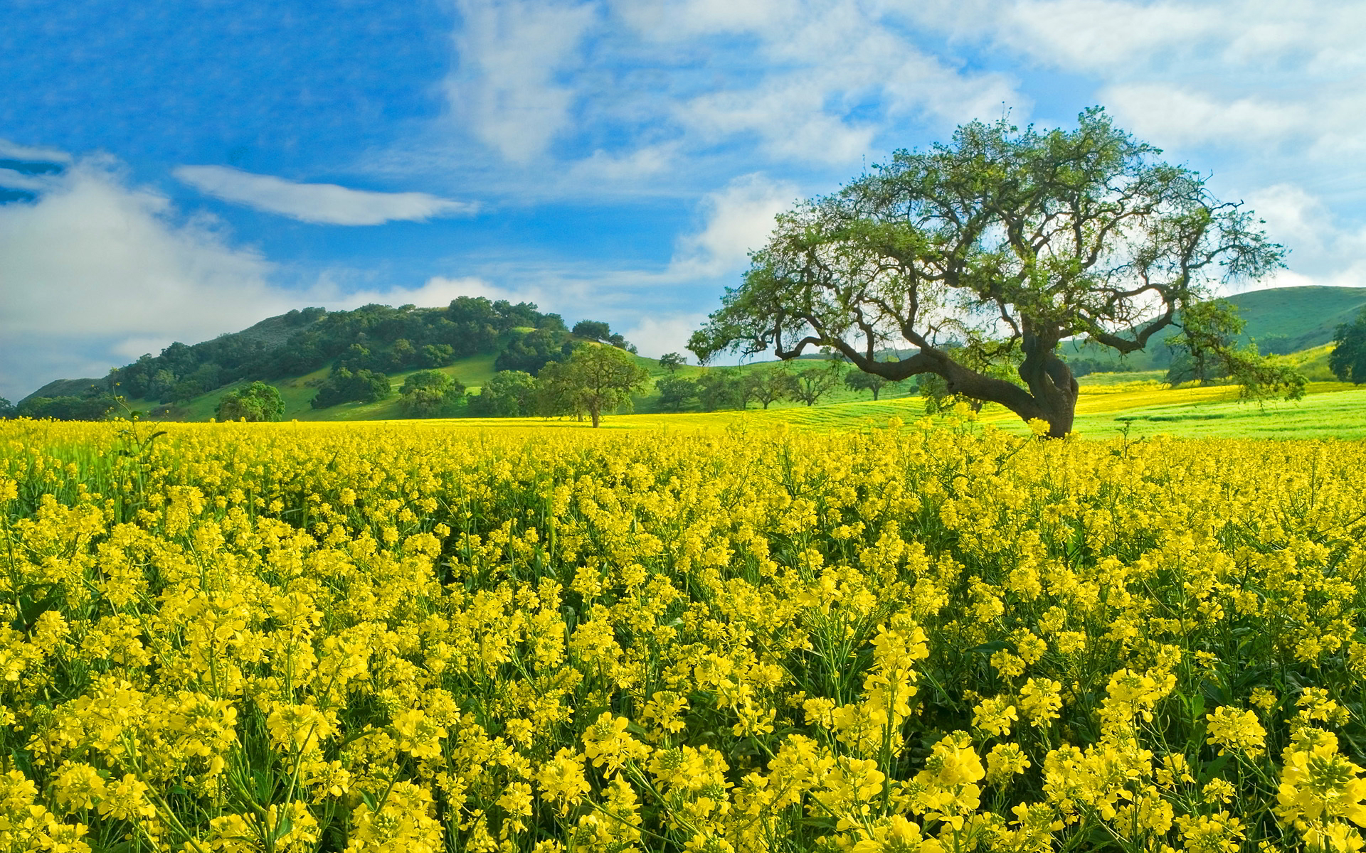 yellow field flowers