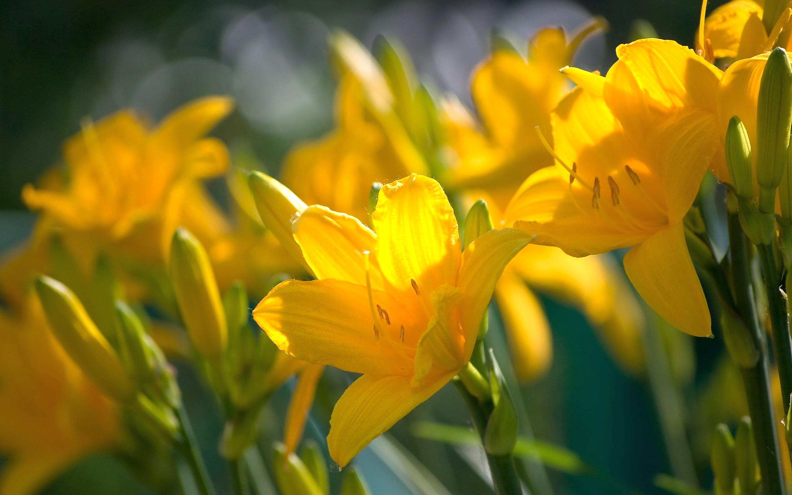 Yellow lily wallpaper