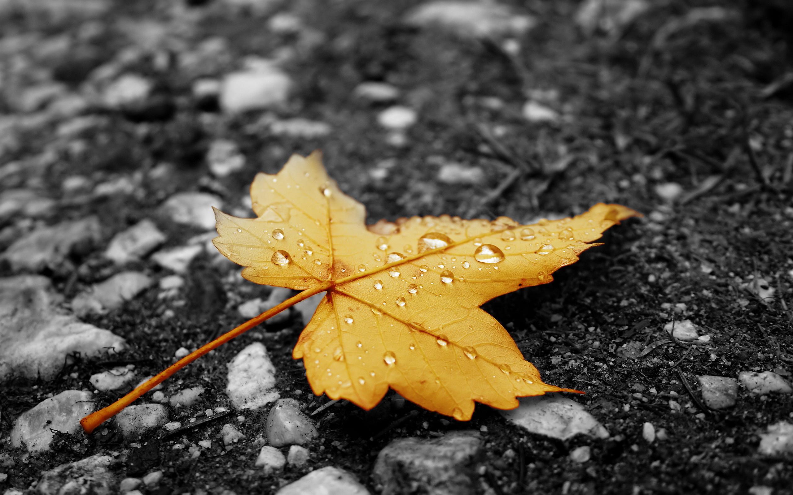 yellow maple autumn
