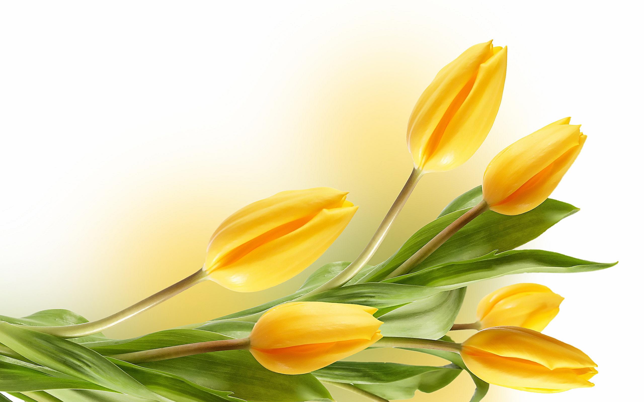 yellow tulip flower wallpaper