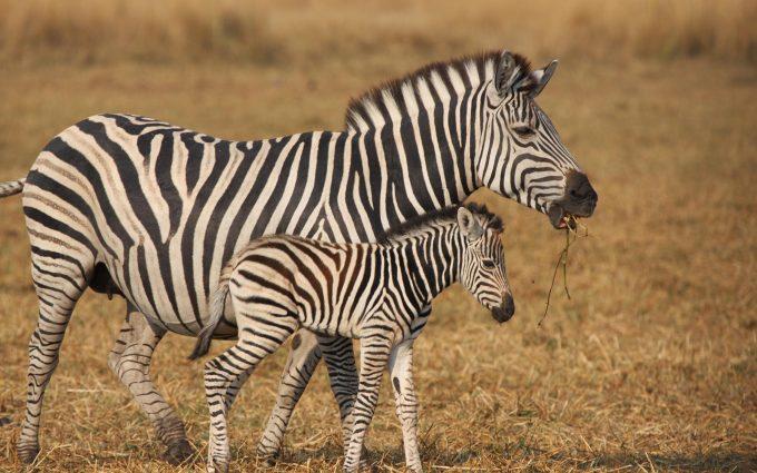 zebra wild