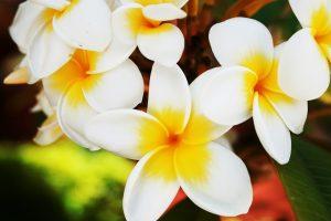 beautiful flowers plumeria