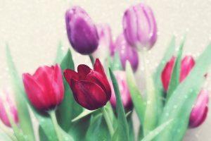 beautiful flowers tulip
