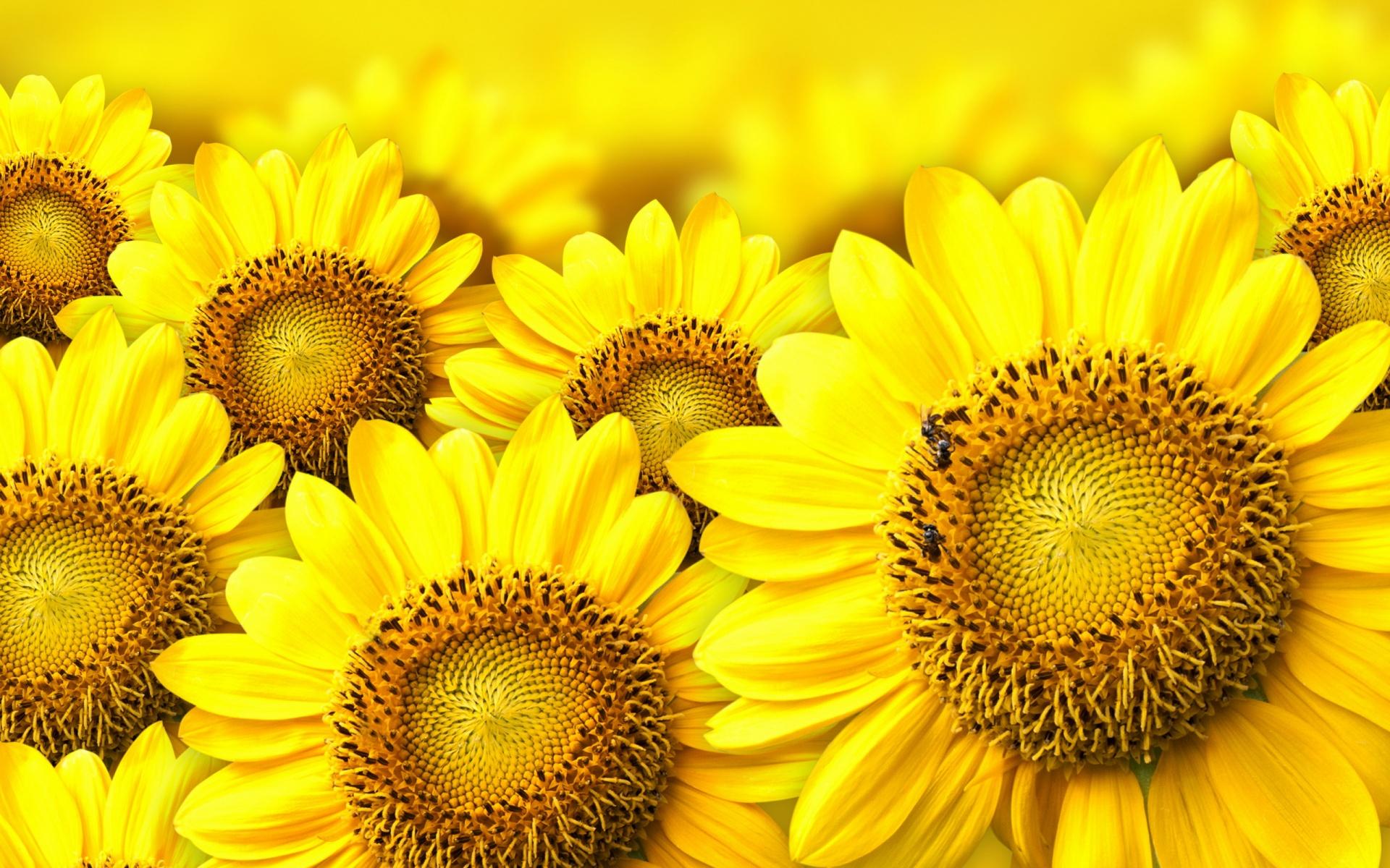 beautiful sunflower wallpaper