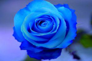blue rose wallpaper background