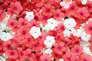 bright flowers pink wallpaper